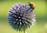 Bumblebee on Globe Thistle