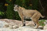 Lynx-roux