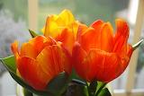 ^ Spring tulips