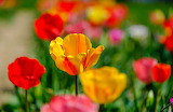Tulips-flowers-garden-spring-colorful