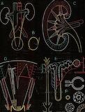 "Science tumblr scientificillustration ""Paul Sougy"" Kidney"