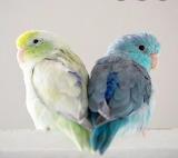 Pericos Esmeraldas~Parakeets 💜
