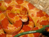 corn snake female