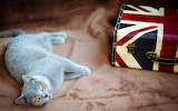 Blue-cat-bend-over-british-shorthair-bag-flag-united-kingdom