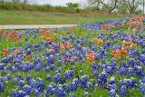 Texas Wildflower Roadside