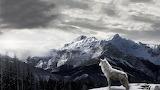 Snow Wolf on mountain