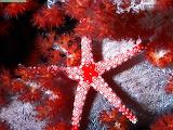 Starfish from Fiji