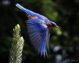 Bluebird just winging it!