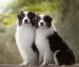 Australian Shepherd couple