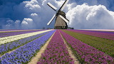 Windmill and flower fields in the Netherlands
