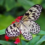 Rice Paper Butterfly...