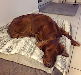 Sleepy Setter