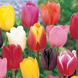 Colored-tulips