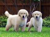 Golden Retriver Puppies...