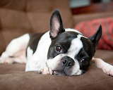 Dog Breed - Boston Terrier