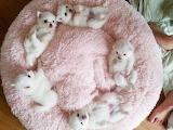 Puppys on pink