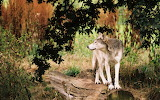 Wolves-Wallpapers-wolves-9705432-1440-900