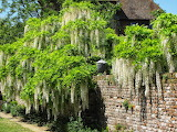 White Wisteria at Sissinghurst Castle