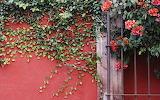 Hiedra en la pared