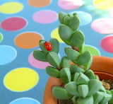 Ladybug, succulent plant, colors