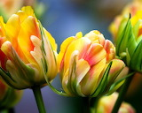 ^ Tulips macro photography, yellow pink petals