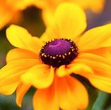 Yellow Splendor...