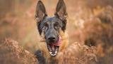 German-shepherd-puppy