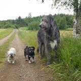 Irish Wolfhound and pals