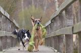 Dogs on a bridge