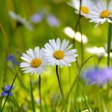 Summer Daisies...