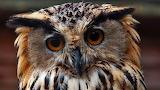 owl###766 033
