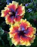 Hibiscus Tahitian Lion Queen