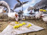 Seagulls eating potato chips