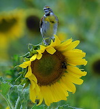 Birds - Dickcissel on a sunflower