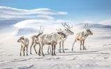 Reindeers- credit Tina Tormanen
