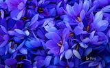 ^ Saffron flowers in Spain - Juan-Carlos Munoz