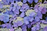 Ortensia giapponese blu