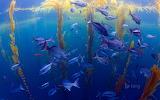 Halfmoon fish in a kelp forest