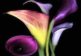 #Calla Lilies