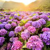 Hydrangea field sunrise Taiwan