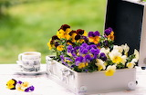 Flowers Pansies