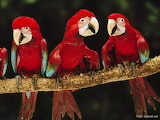^ Red-and-green macaws - © Corbis