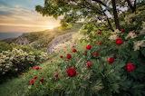 Trees, flowers, spring, evening, slope, peonies, Bulgaria
