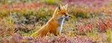 Red fox in Denali National Park and Preserve. Alaska