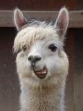 llama hi there