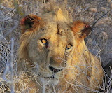 Tsavo Lion