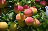 Plum, nature, tree, harvest, leaves, fruit