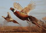 Ring neck pheasants in flight art
