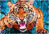 🐅Angry Tiger...