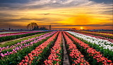 Field of tulips at sunset